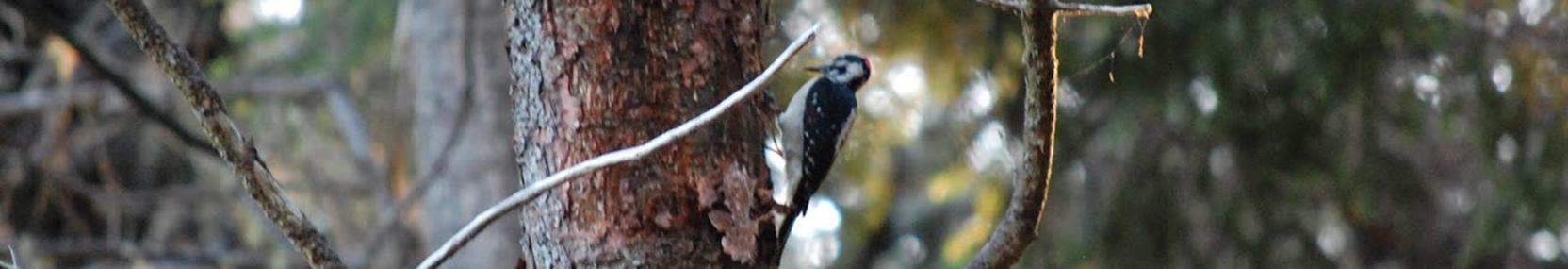 woodpecker by ricky satomi
