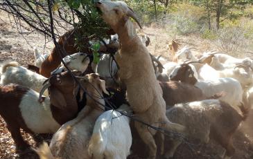 [news image] Goats by Ricky Satomi